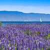 Wild Lupine & Sailboat