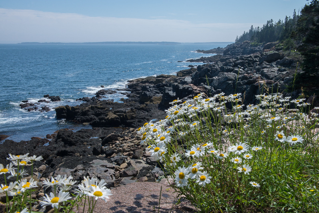 Daisies on Rocky Coast