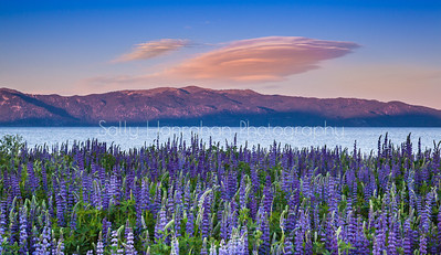 Lupine and Lake Tahoe