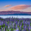 Lavender and Lake Tahoe