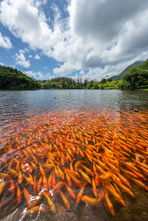 Koi Fish, Oahu Hawaii