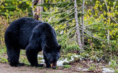 Black Bear #2