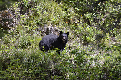 Black Bear in Waterton Lakes Park