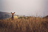 Peeking Elk Girl