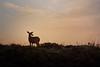 Watchful Deer