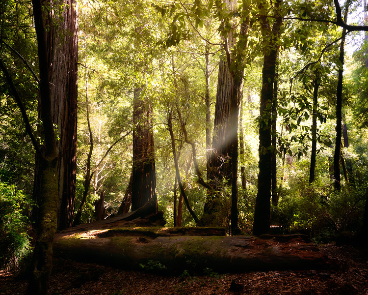 Forest Rays in Big Basin
