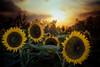 Sunflowers Standing Tall