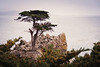 Lone Cypress Standing Tall