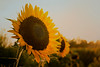 Kiss of the Sunflower
