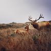 Daddy Elk