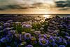 Purple Seaside Daisies