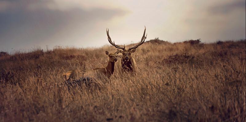 Elk Couple