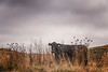 Estero Cow