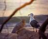Watchful Gull