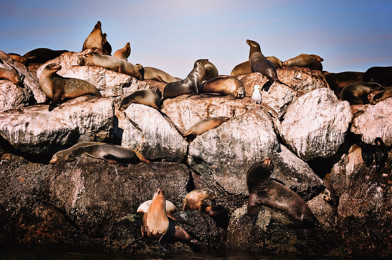 Sea Lions Rocking Out