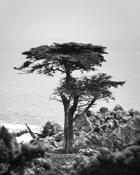 Standing Alone Cypress in Black and White