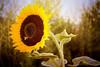 Bee in Sunflower Heaven