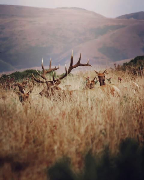 Peeking Elk