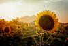 Hazy Sunflowers