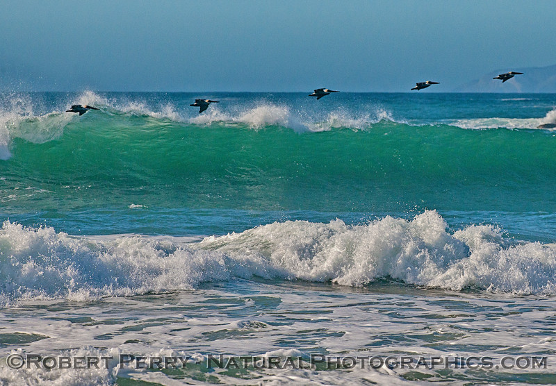 Brown pelicans ride a wave at Silver Strand, Oxnard.