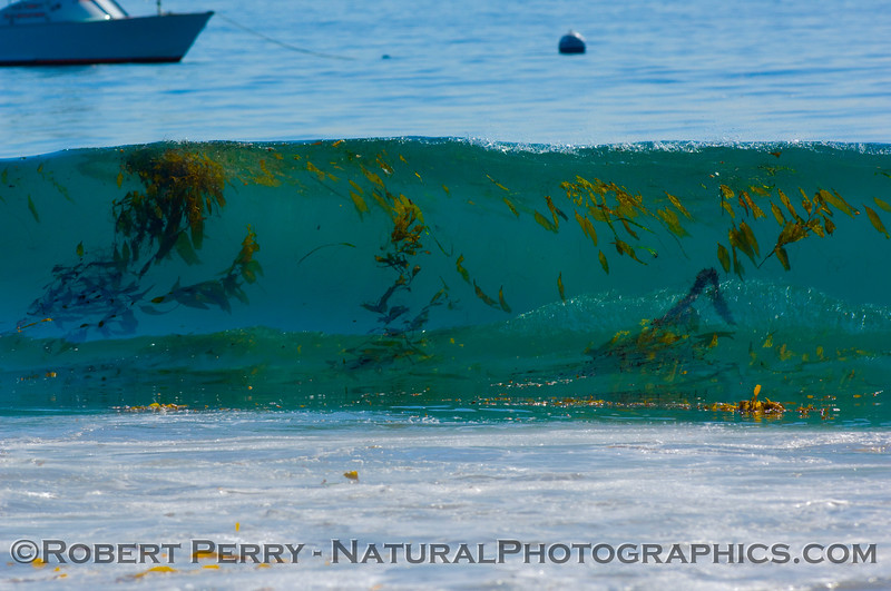 Glassy, sunny and extreme water clarity reveals a lot of giant kelp (Macrocystis) debris in the waves at Zuma.