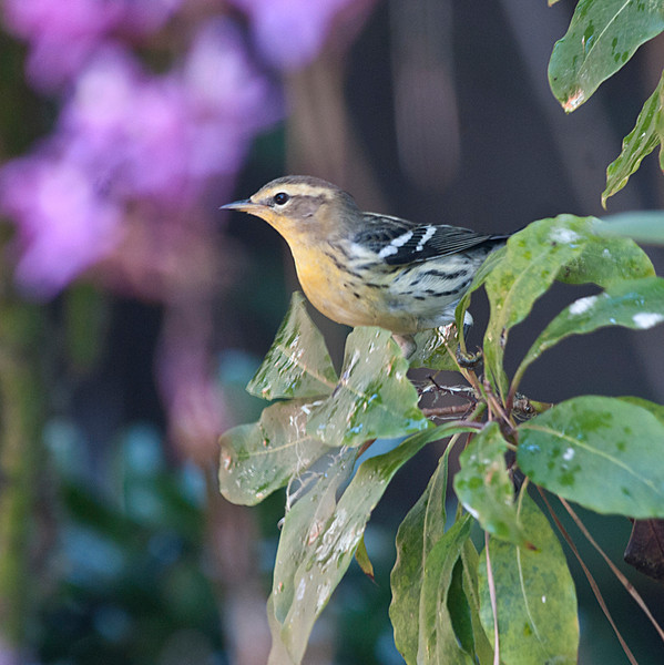 """Hatch-year Blackburnian Warbler"