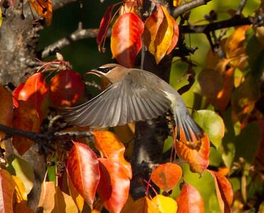 Cedar Waxwing Aviara 2011 12 22 (3 of 4).CR2