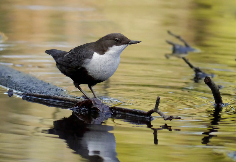 Black-bellied Dipper (Cinclus cinclus cinclus), Thetford, Norfolk, 15/02/2013. I just liked the golden backdrop to this shot.