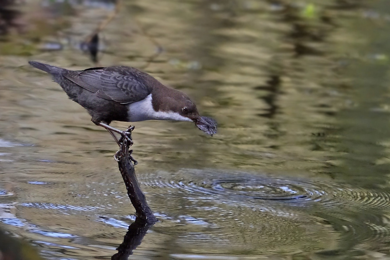 Black-bellied Dipper (Cinclus cinclus cinclus), Thetford, Norfolk, 15/02/2013. Pulling leaf-matter from the water although I don't think it found any larvae within it this time.
