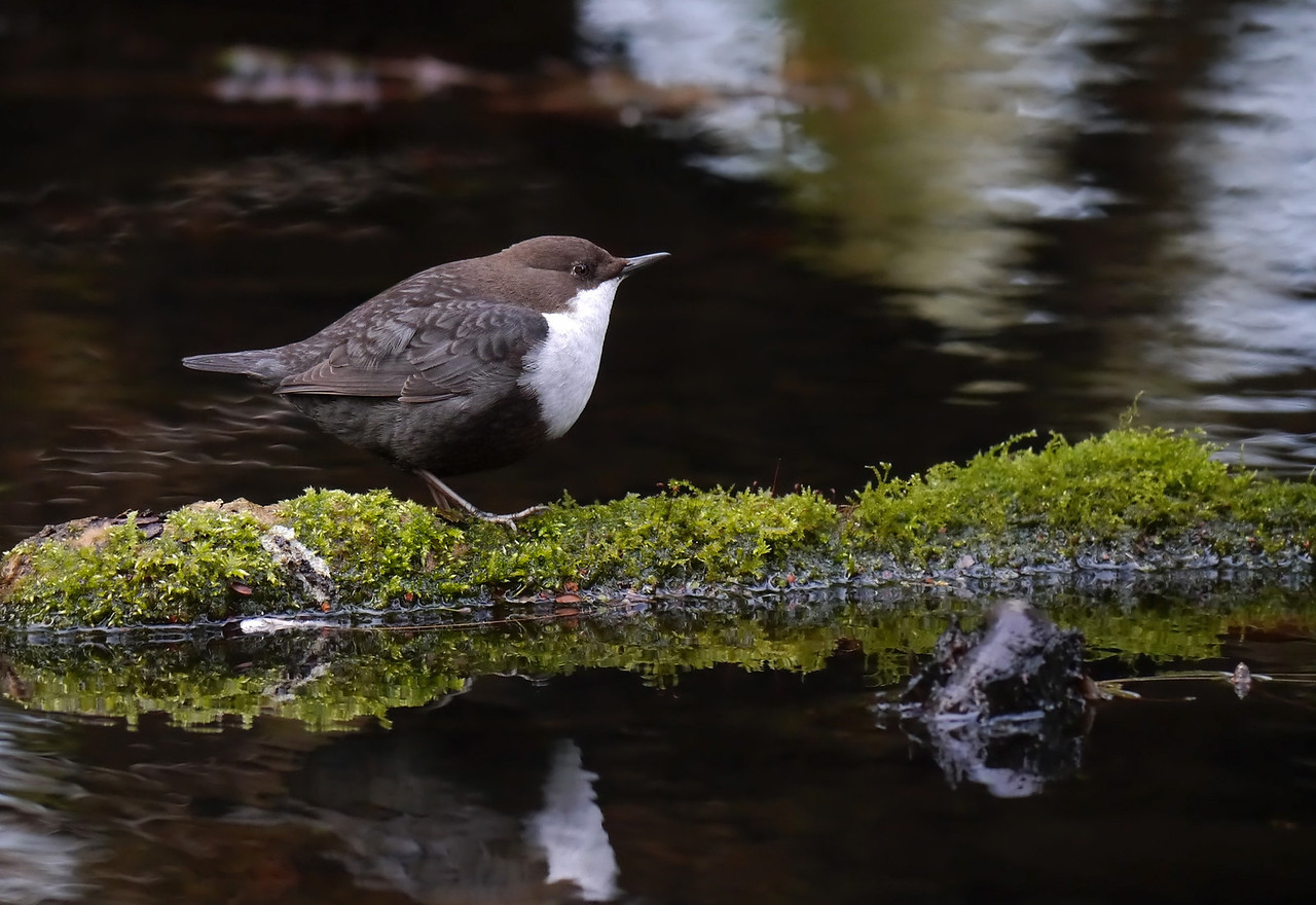 """Black-bellied Dipper (Cinclus cinclus cinclus), Thetford, Norfolk, 15/02/2013. When the bird wasn't in the water, it would find a suitable perch and, from there, use a variety of techniques to forage for food. At one point, its tiny weight was sufficient to cause a free-floating log to suddenly roll over. The bird was caught completely off guard, wings flailing, as it disappeared with a delicate """"plop"""" into the river. It made a number of us laugh out loud."""