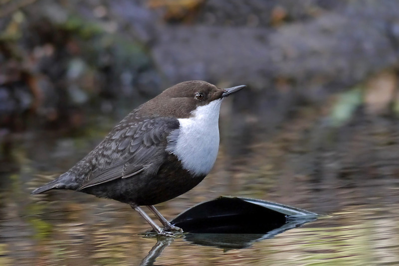 Black-bellied Dipper (Cinclus cinclus cinclus), Thetford, Norfolk, 15/02/2013. A profile view, which shows its distinctive shape. No doubt this profile helps when it's under water searching for food.