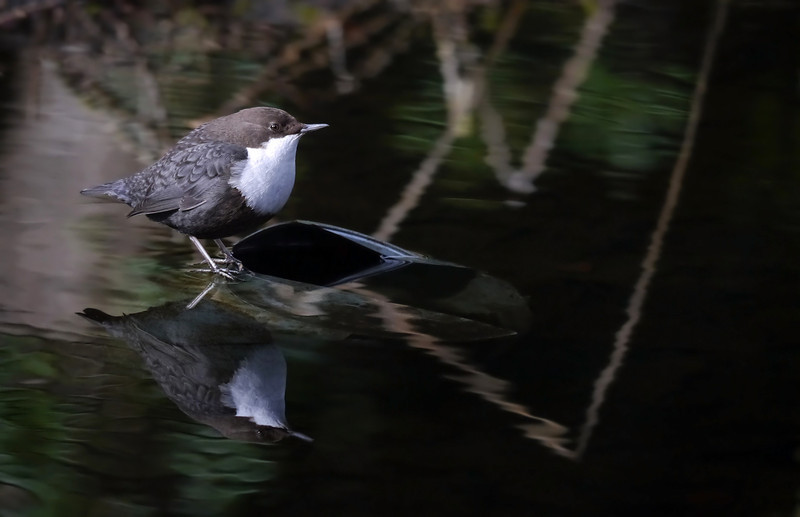 "Black-bellied Dipper (Cinclus cinclus cinclus), Thetford, Norfolk, 15/02/2013. Dipper Reflection. The area the bird favoured was sheltered, with overhanging trees and diffuse lighting. The reflections in the water were almost as interesting and beautiful as the bird. I've limited myself to just one ""arty"" upload."