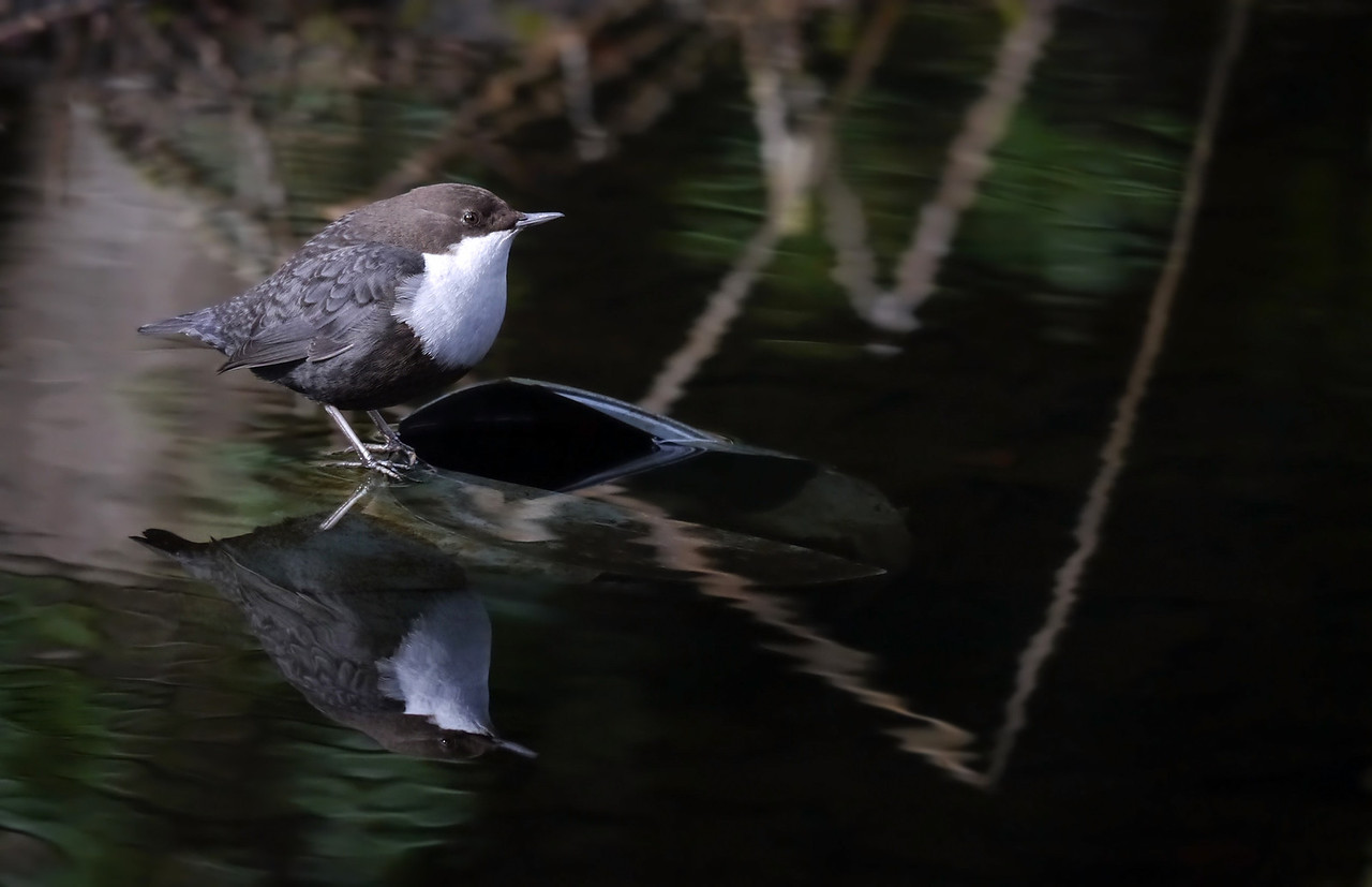 """Black-bellied Dipper (Cinclus cinclus cinclus), Thetford, Norfolk, 15/02/2013. Dipper Reflection. The area the bird favoured was sheltered, with overhanging trees and diffuse lighting. The reflections in the water were almost as interesting and beautiful as the bird. I've limited myself to just one """"arty"""" upload."""