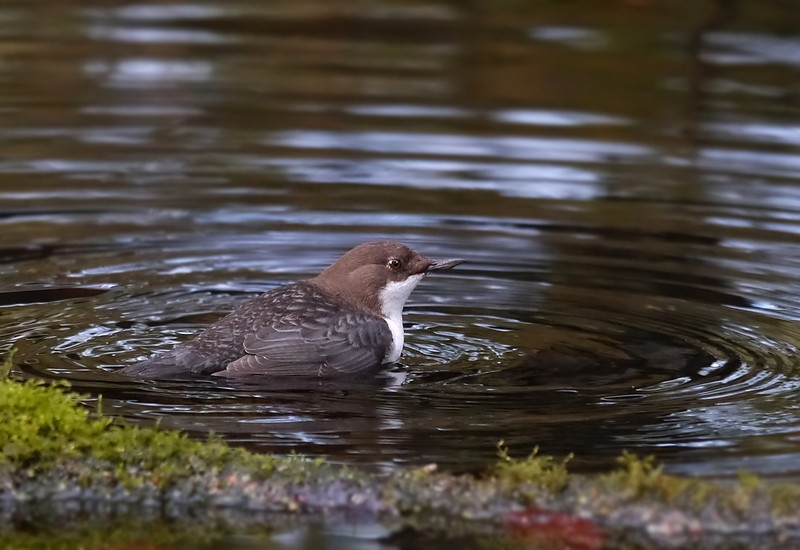 Black-bellied Dipper (Cinclus cinclus cinclus), Thetford, Norfolk, 15/02/2013. From the perch, the bird walked into the water, gripping the riverbed with its feet. It then stuck its head under water and foraged through the leaf-matter on the riverbed, looking for larvae and grubs.