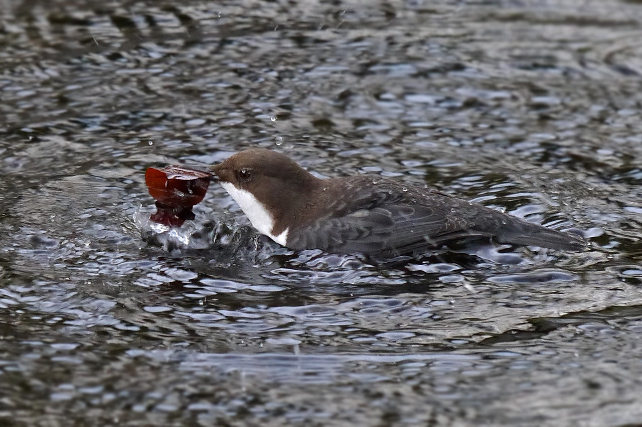 Black-bellied Dipper (Cinclus cinclus cinclus), Thetford, Norfolk, 15/02/2013. Once the bird found a good clump of leaves, which it believed contained food, it would wade quite fast through the water to find a perch to dismantle the beakful.