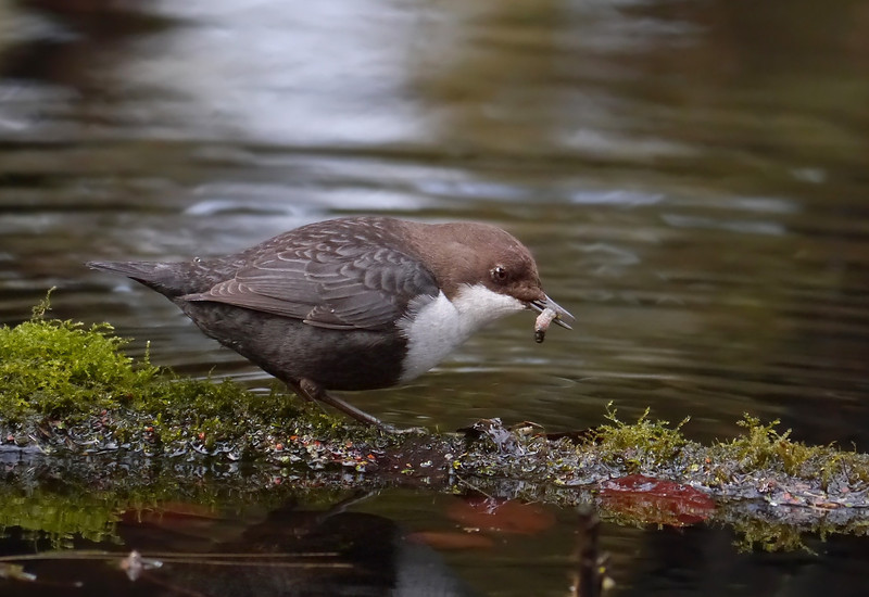 Black-bellied Dipper (Cinclus cinclus cinclus), Thetford, Norfolk, 15/02/2013. Down the hatch in seconds...