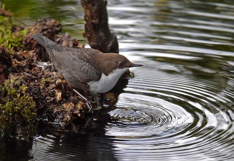 Black-bellied Dipper (Cinclus cinclus cinclus), Thetford, Norfolk, 15/02/2013. From its perches, if the bird didn't immediately wade into the water, it would first plunge its head into the river and search for food that way. Here it had found a good vantage point.