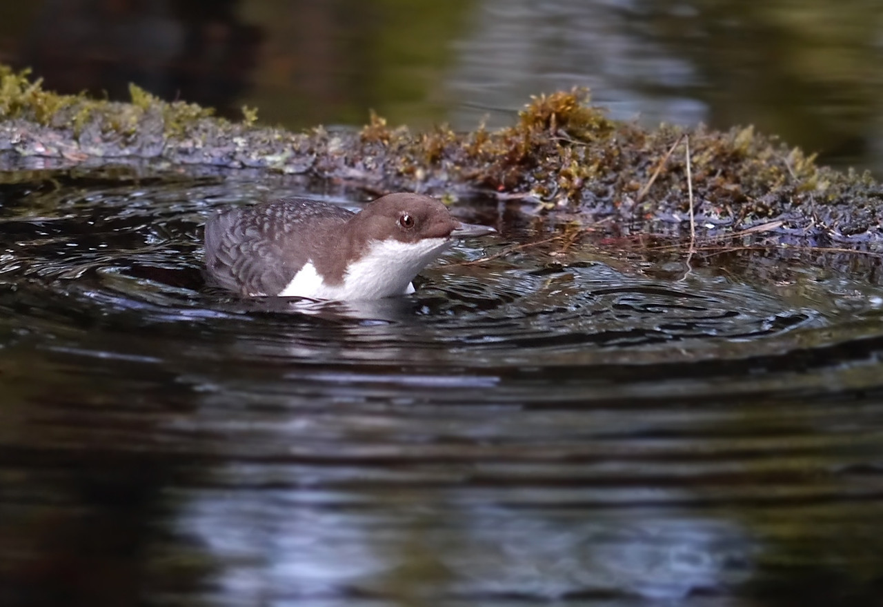 Black-bellied Dipper (Cinclus cinclus cinclus), Thetford, Norfolk, 15/02/2013. Once the bird had fed, it was immediately back in the water, looking for more...