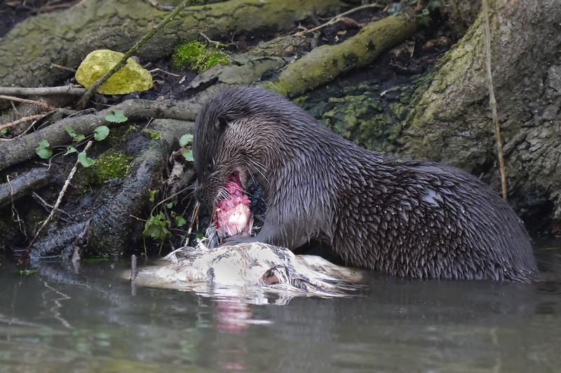 European Otter (Lutra lutra), Thetford, Norfolk, 15/02/2013. Digging into its catch.