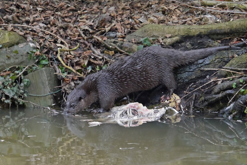 European Otter (Lutra lutra), Thetford, Norfolk, 15/02/2013. After some time, the Otter decided it wanted to move its chicken-lunch downriver...Here, it was just slipping into the water.