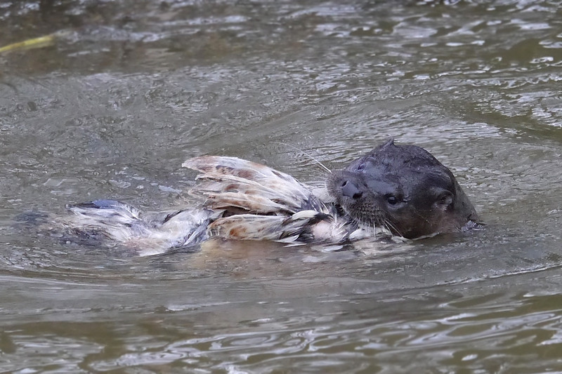 European Otter (Lutra lutra), Thetford, Norfolk, 15/02/2013. On the move. It was quite hilarious watching this Otter wrangling with its obviously cumbersome cargo. The chicken kept getting stuck on passing twigs and the Otter would have to figure out how to disentangle it.