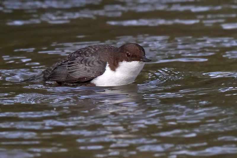 Black-bellied Dipper (Cinclus cinclus cinclus), Thetford, Norfolk, 15/02/2013. Wading through the water, coming up for air, before going back under, foraging.