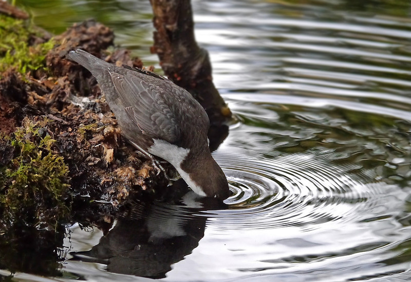 Black-bellied Dipper (Cinclus cinclus cinclus), Thetford, Norfolk, 15/02/2013. Head underwater, sifting through the leaf-matter for food.
