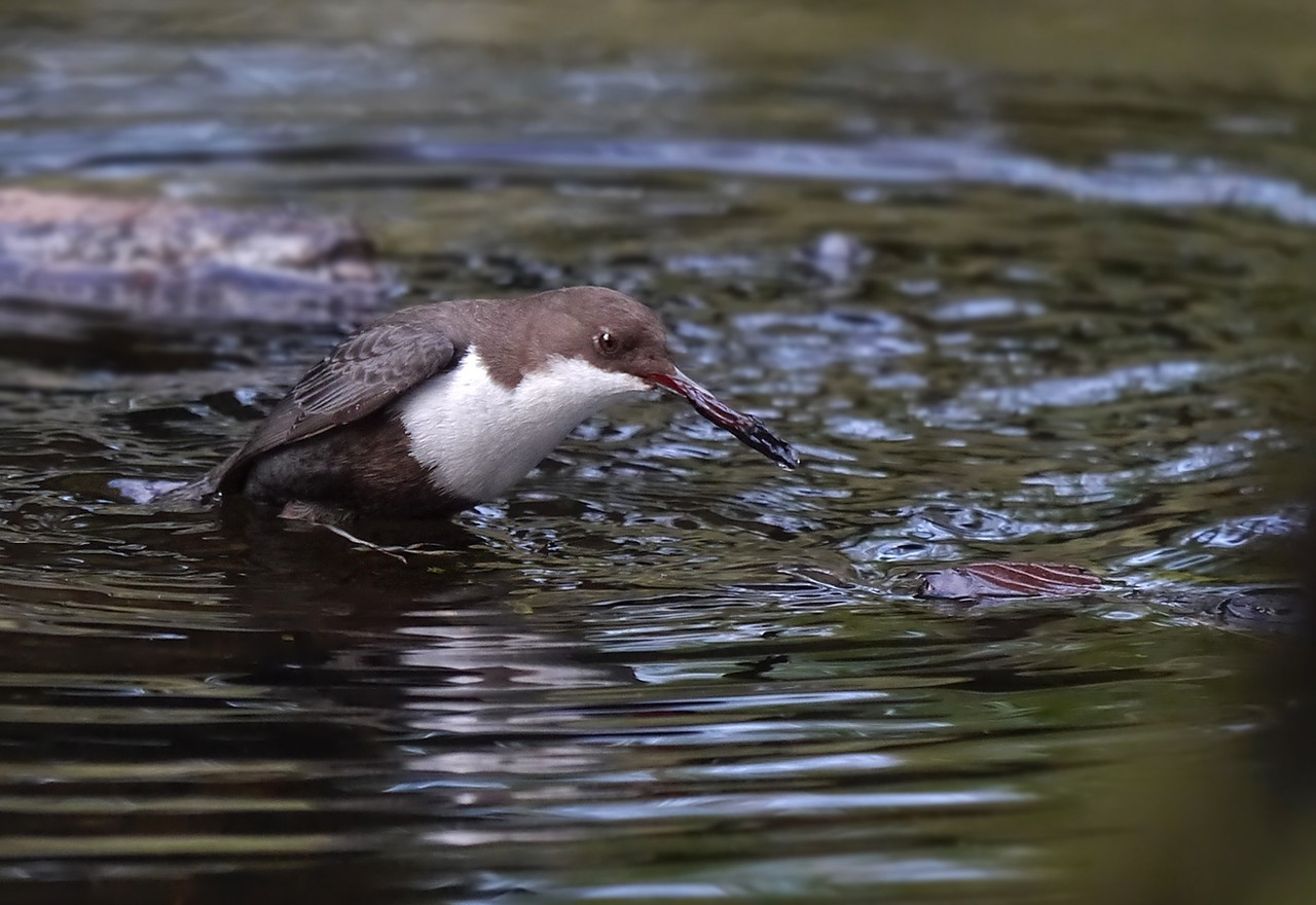 Black-bellied Dipper (Cinclus cinclus cinclus), Thetford, Norfolk, 15/02/2013. Pulling leaf-matter apart to get at the larvae within, feet firmly planted on the riverbed.