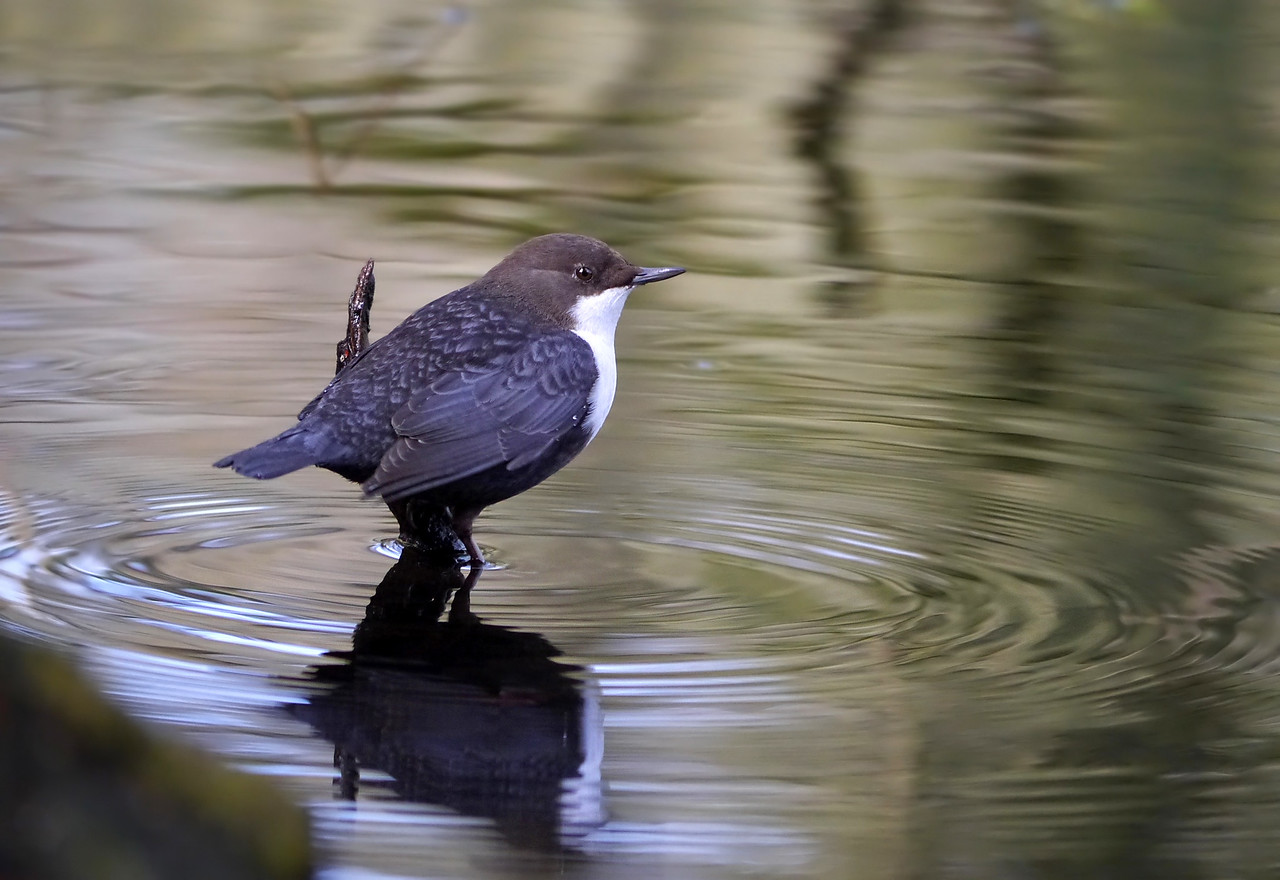 Black-bellied Dipper (Cinclus cinclus cinclus), Thetford, Norfolk, 15/02/2013. Another place from which to search for food and also look rather lovely!