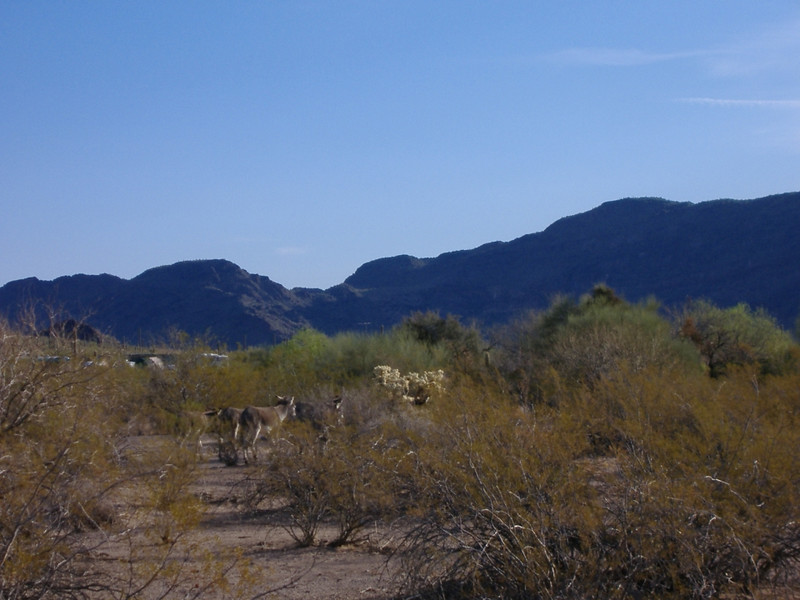 Burros and mountains to the northeast of camp.