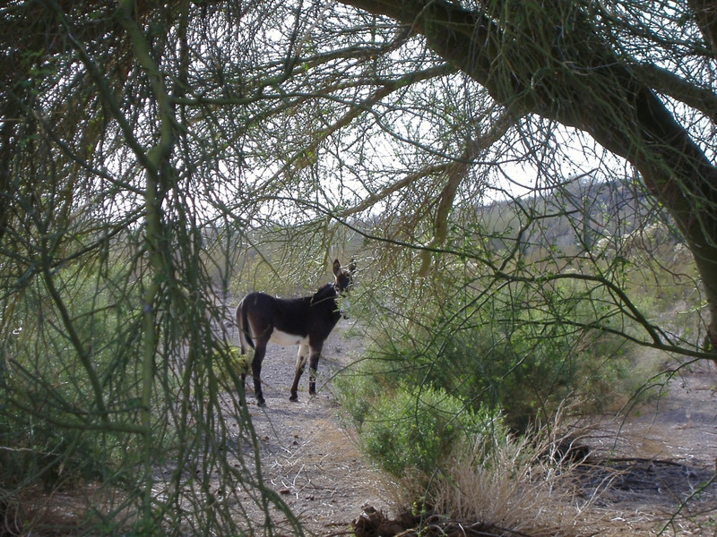Stalking the lone burro!