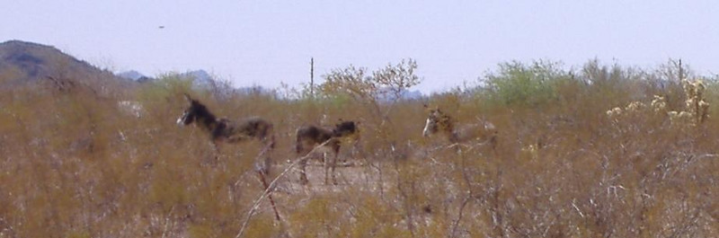 Our first sighting of wild burros near the campsite.