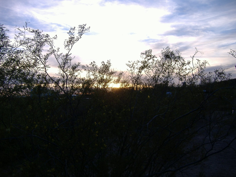 Creosote bush in bloom at sunset. We're really enjoying the longer days and mild evening temperatures.