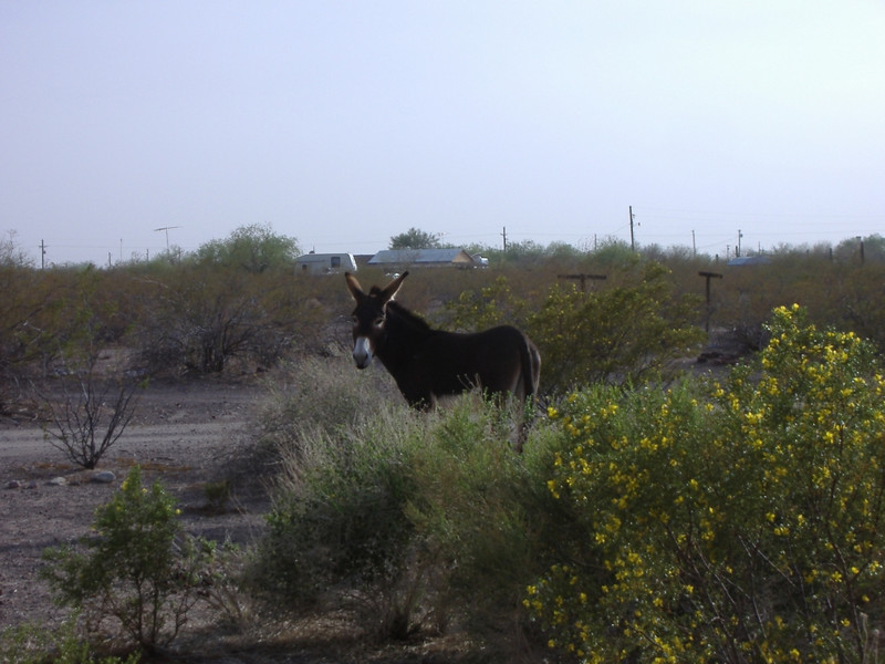 "The wild burro is a descendant of pack animals brought to the Americas by the Spanish. <a href=""http://www.blm.gov/az/whb/history1.htm"" target=""_new"">Here's a link</a> to the BLM Wild Horse and Burro information page."